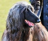Beautiful Afghan Hound In The Park