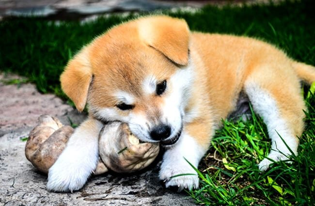 Akita puppy chewing on a toy