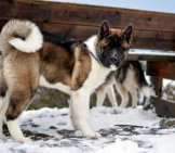 Beautiful Black, Tan, And White Akita
