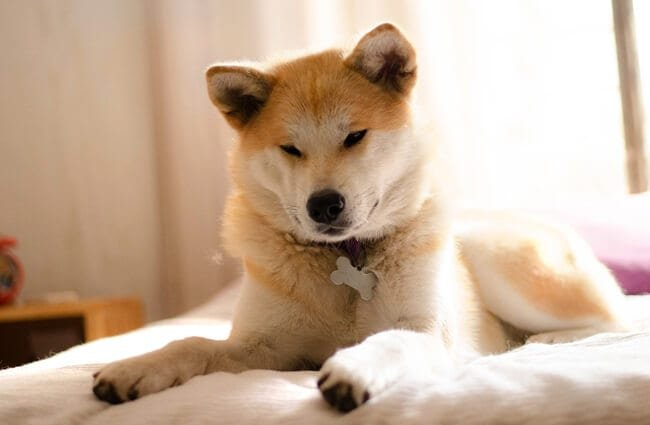 Beautiful Akita lounging on the bed