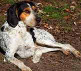 American English Coonhound On A Lazy Afternoonphoto By: De Annahttps://creativecommons.org/licenses/by-Nc-Sa/2.0/