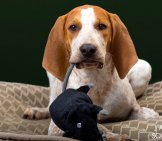 American English Coonhound Puppyphoto By: Adam Sowershttps://creativecommons.org/licenses/by-Nc-Sa/2.0/
