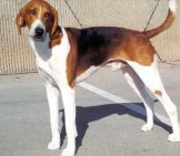 American Foxhound 1