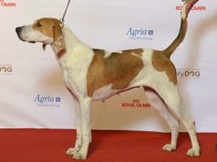 Beautiful American Foxhound at the show ringPhoto by: Svenska MässanCC BY 2.0 https://creativecommons.org/licenses/by/2.0