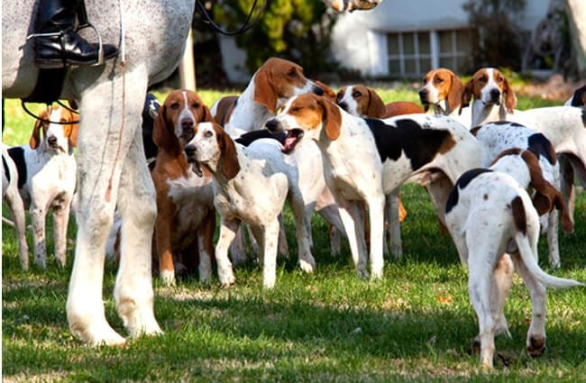 A number of American Foxhounds waiting for the hunt to begin Photo by: (c) BackyardProduct www.fotosearch.com