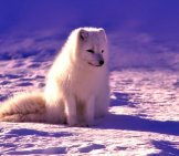 Arctic Fox In The Fading Light