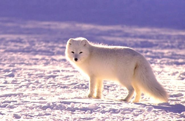 Arctic Fox taking one last look at the camera