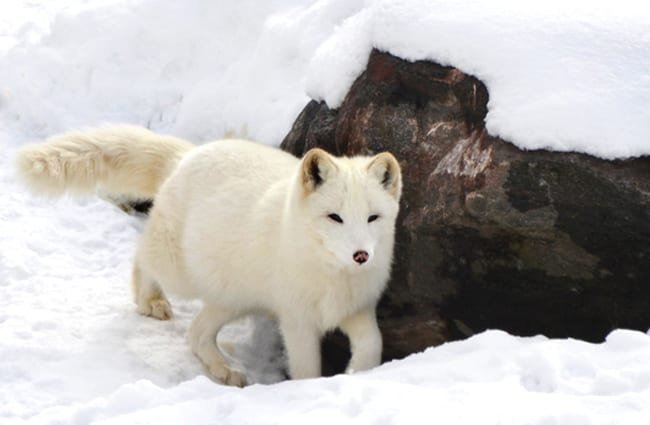 Arctic Fox near his den