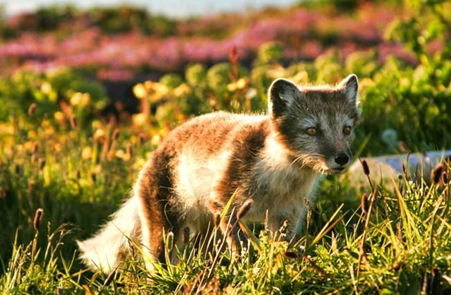 Arctic Fox in his spring and summer dark coat