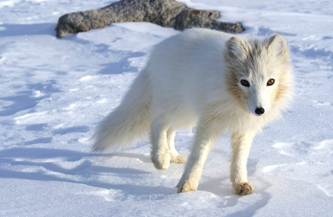 Arctic Fox unsure about the camera