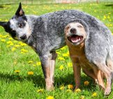 Red And Blue Australian Cattle Dogs Photo By: Jeff Https://creativecommons.org/licenses/by/2.0/