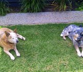 A Pair Of Australian Cattle Dogs Resting In The Yard Photo By: Anne Beaumont Https://Creativecommons.org/Licenses/By/2.0/