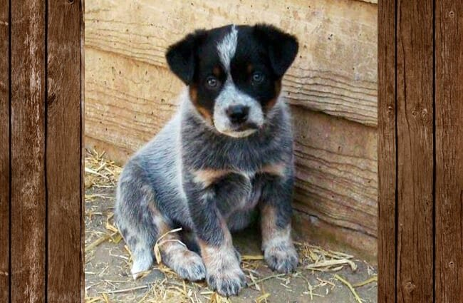 Australian Cattle Dog puppy Photo by: jimbomack66 https://creativecommons.org/licenses/by/2.0/