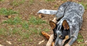 Young Australian Cattle Dog guarding his chew toyPhoto by: Alanhttps://creativecommons.org/licenses/by/2.0/