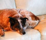 Siesta! Australian Cattle Dog On The Sofaphoto By: Aaronhttps://creativecommons.org/licenses/by/2.0/