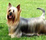 Silky Australian Terrier Photo By: (C) Capturelight Www.fotosearch.com