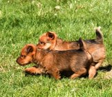 Lively Australian Terrier Puppies Racing Around The Yard Photo By: Larry Jacobsen //creativecommons.org/licenses/by/2.0/