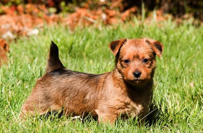 Portrait of an Australian Terrier puppy Photo by: Larry Jacobsen //creativecommons.org/licenses/by/2.0/