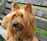 Beautiful Silky Australian Terrier On A Park Bench
