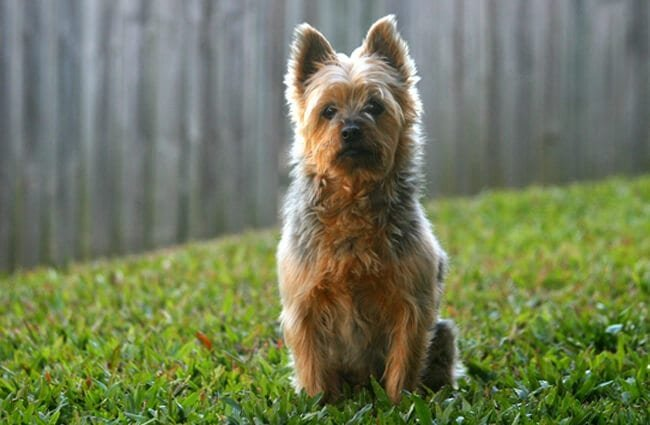 Australian Terrier posing for a photo