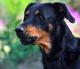 Beauceron In Profile