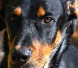 Closeup Of A Beauceron