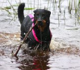 Beauceron Playing In The Water