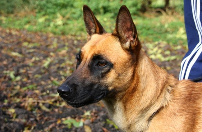 Portrait of a Belgian Malinois in the yard