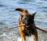 Belgian Malinois Playing In The Water