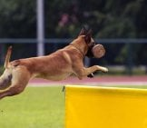 A Belgian Malinois Flying Through An Agility Course