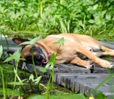Belgian Malinois Napping On The Deck