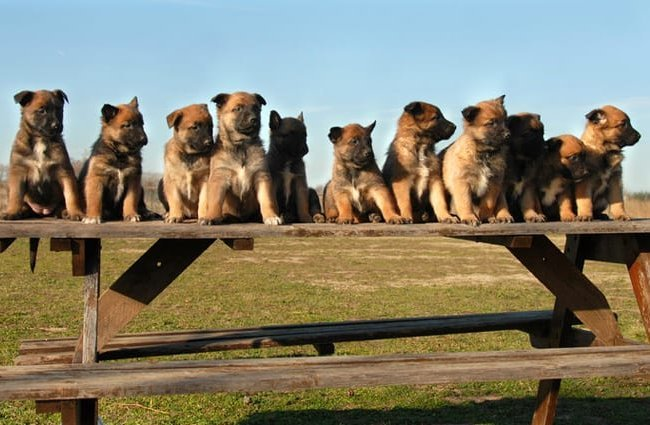 A passel of purebred Belgian Malinois puppies! Photo by: (c) cynoclub www.fotosearch.com