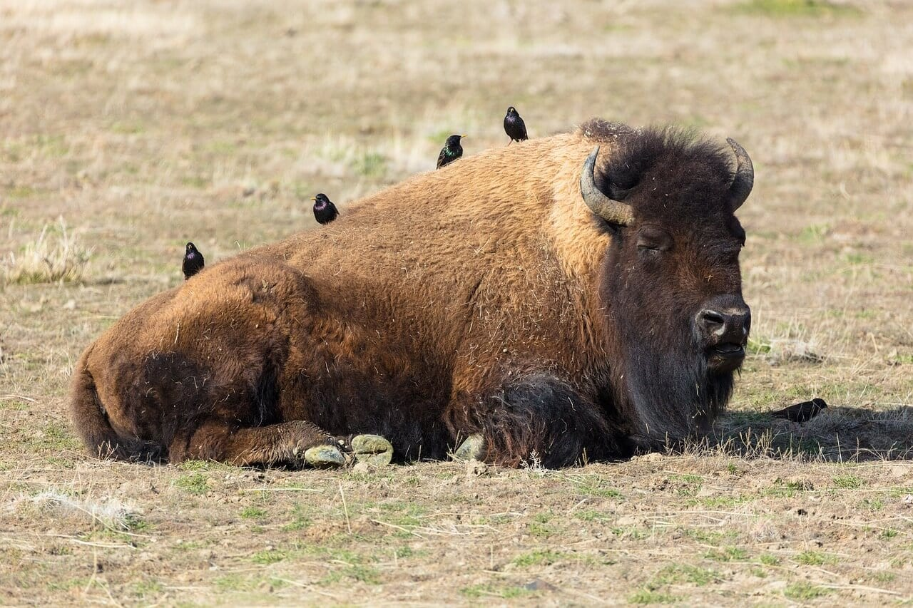 https://pixabay.com/en/bison-buffalo-american-animal-3737723/