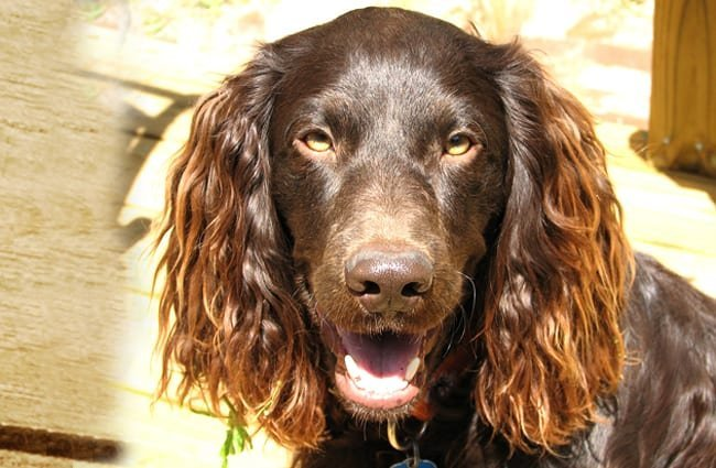 Closeup of a beautiful Boykin Spaniel