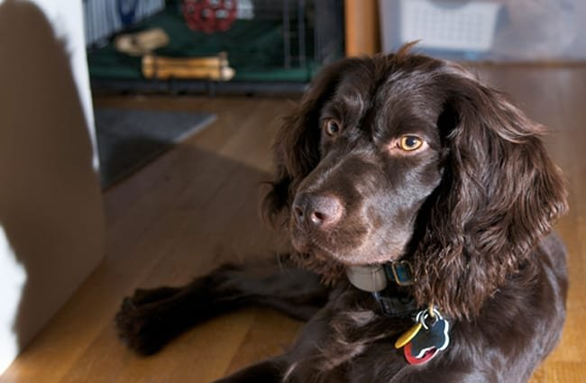 Boykin Spaniel resting after rough play in the yard Photo by: Bill Read https://creativecommons.org/licenses/by-sa/2.0/