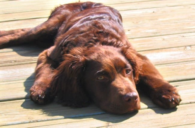 Young Boykin Spaniel drying out on the dock Photo by: The Family https://creativecommons.org/licenses/by-sa/2.0/