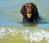 Boykin Spaniel At Home In The Water! Photo By: Bill Read Https://creativecommons.org/licenses/by-Sa/2.0/