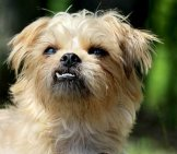 Closeup Of A Brussels Griffon
