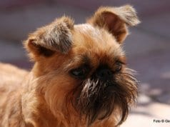 Brussels Griffon alert in the parkPhoto by: Ger Dekkerhttps://creativecommons.org/licenses/by-nd/2.0/