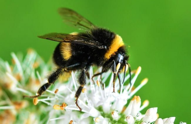 Bumblebee sipping nectar