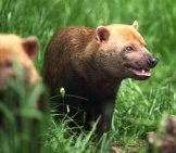 Bush Dogs In The Grass