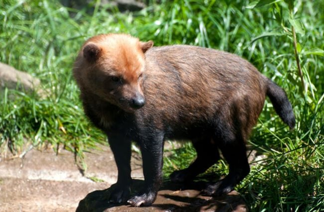 A beautiful Bush Dog standing on the path Photo by: (c) stefbennett www.fotosearch.com
