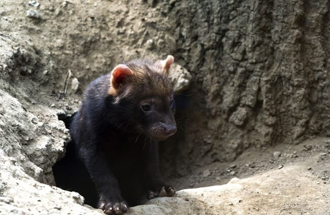 A Bush Dog emerging from its den Photo by: (c) nazzu www.fotosearch.com