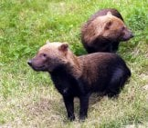 A Pair Of Bush Dogs, Also Called Vinegar Dogs Photo By: (C) Nazzu Www.fotosearch.com