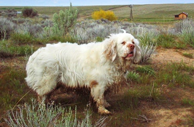 Clumber Spaniel stopping for a pic in the field Photo by: Colin https://creativecommons.org/licenses/by-nc/2.0/