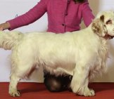 Clumber Spaniel Posing On The Show Table Photo By: Svenska Mässan Https://creativecommons.org/licenses/by-Nc/2.0/