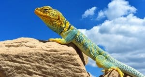 //pixabay.com/en/collared-lizard-reptile-portrait-2810172/
