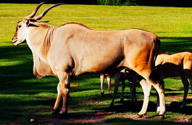 Giant Eland in profile