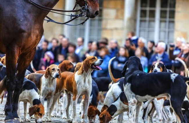 Foxhounds gathering before the hound show