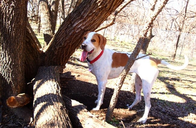 Beautiful foxhound posing under a tree Photo by: Anna Gonzalez www.AnnaMGonzalez.com